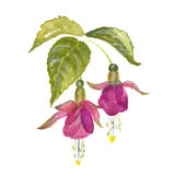 Branch of pink fuchsia. On white background. Watercolor floral illustration Royalty Free Stock Image