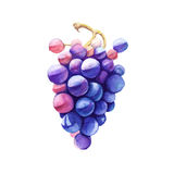 Branch of pink grapes. Isolated on a white background. Watercolor illustration. vector illustration