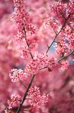 Branch of Pink Kwanzan Cherry tree in bloom. Selective focus. Branch of Pink Kwanzan Cherry tree in full bloom. Selective focus. Vertical Stock Image
