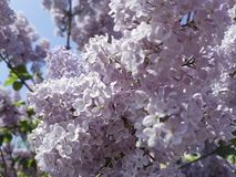 Branch of a pink lilac blossom garden close-up of a sky background. Branch of a pink lilac close-up of a sky background beauty garden blossom stock photo