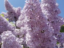 Branch of a pink lilac close-up of a sky background. Beauty royalty free stock photography