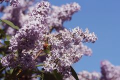 Branch of pink lilac in a garden, park. Beautiful flowering flowers of lilac tree at spring. Spring concept Royalty Free Stock Images