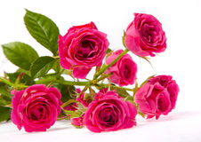 Branch of pink little roses Stock Images