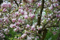 Branch with pink magnolia blossoms Royalty Free Stock Photos
