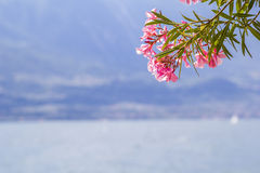 Branch of pink oleander against the backdrop of Lake Garda Stock Images