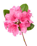 Branch of a pink oleander isolated on a white Royalty Free Stock Photo