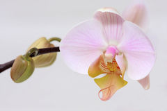 Branch of pink orchid. On white background Stock Photo