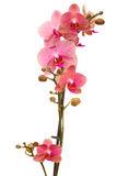 Branch of pink orchid Royalty Free Stock Image