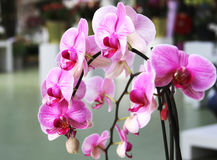 Branch of pink orchid  in botanical garden Stock Images