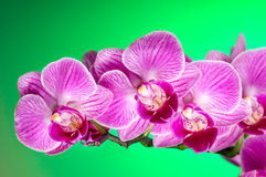 Branch of Pink orchid royalty free stock photo