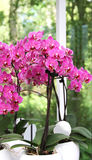 Branch of pink orchid in the vase Stock Photography