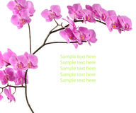 Branch pink orchid on white background with sample text Royalty Free Stock Photos