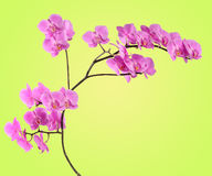 Branch pink orchid on yellow-green gradient Royalty Free Stock Photo