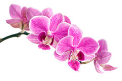 Branch of pink orchids isolated on a white background. Beautiful branch of pink orchids isolated on a white background Royalty Free Stock Photo
