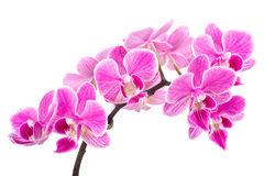 Branch of pink orchids isolated on a white background. Beautiful branch of pink orchids isolated on a white background Stock Images