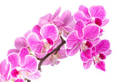 Branch of pink orchids isolated on a white background. Beautiful branch of pink orchids isolated on a white background Royalty Free Stock Photography