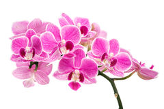 Branch of pink orchids isolated on a white background. Beautiful branch of pink orchids isolated on a white background Stock Photography