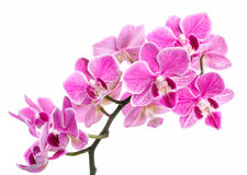 Branch of pink orchids isolated on a white background. Beautiful branch of pink orchids isolated on a white background Stock Photos