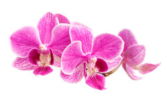 Branch of pink orchids isolated on a white background. Beautiful branch of pink orchids isolated on a white background Stock Photo