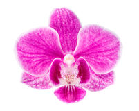 Branch of pink orchids isolated on a white background. Beautiful branch of pink orchids isolated on a white background Stock Image
