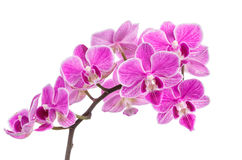 Branch of pink orchids isolated on a white background. Beautiful branch of pink orchids isolated on a white background Royalty Free Stock Images