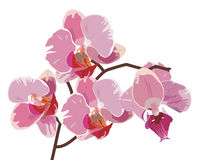 Branch of pink orchids. Vector branch of pink orchids Royalty Free Stock Image