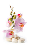 Branch of pink orchids with zen stones Royalty Free Stock Photography