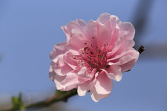 Branch with pink peach blossoms Royalty Free Stock Photo
