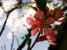 Branch of pink peach with flowers and sky stock photos