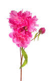 Branch of pink peony flowers Stock Photos