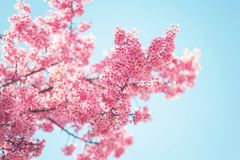 Branch of Pink Prunus tree in bloom. Selective focus. Branch of Pink Prunus tree in spring bloom against blue clear sky. Selective focus Stock Photos