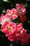 A branch of pink roses. A branch of beautiful roses Stock Image