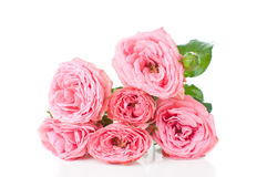Branch of pink roses Royalty Free Stock Photography
