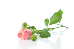 Branch of pink roses Stock Photos