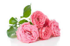 Branch of pink roses Royalty Free Stock Photo