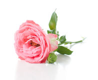 Branch of pink roses Royalty Free Stock Image
