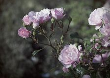 Branch of Pink Roses stock photo
