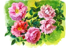 Branch of pink roses Stock Image