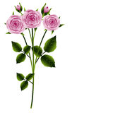 Branch of pink roses Stock Photography
