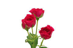 Branch of pink roses. Isolated Royalty Free Stock Image