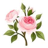 Branch of pink roses. Vector illustration. Royalty Free Stock Photo