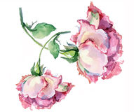 Branch pink roses , watercolor Royalty Free Stock Image