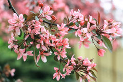A branch of a pink sakura. On a green background Stock Image