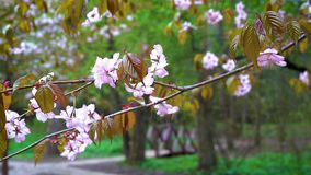 A branch of pink Sakura swaying in the spring wind in the Park. stock video footage