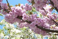 Branch of a pink sakura Stock Image