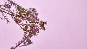 Branch with pink spring flowers on a pink background. Spring branch with pink buds and flowers with reflection of shadow on a pink background. Space for text stock photography
