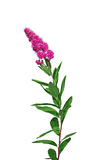 Branch of pink terry Astilbe isolated Stock Image