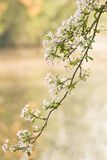 Branch of pink and white blossom in spring Royalty Free Stock Images