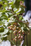 Branch of pistachio. In a marketplace Royalty Free Stock Photos