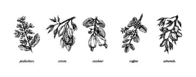 Branch with pistachio nuts, cocoa beans, almonds, cashew nuts and coffee beans plant hand draw illustration sketch stock illustration